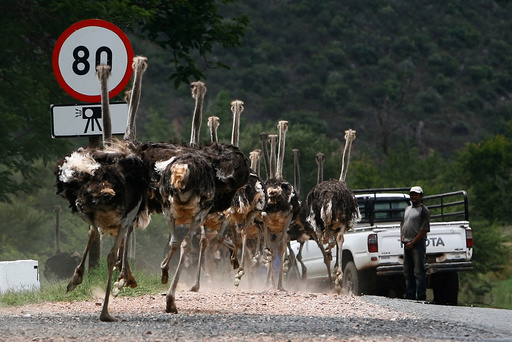 A herd of ostriches runs on a street after breaking out of their enclosure outside Oudtshoorn
