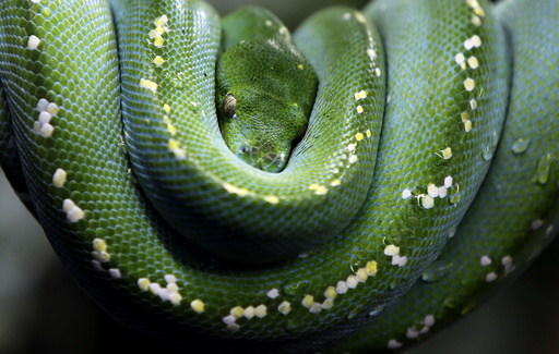 Green Tree Python rests in zoo of Augsburg