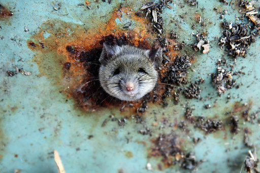 A rat's head rests as it is constricted in an opening in the bottom of a garbage can in the Brooklyn borough of New York