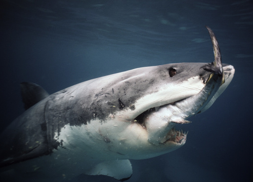 Great White Shark (Carcharodon carcharias) feeding on Southern Bluefin Tuna (Thunnus maccoyii)