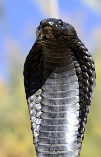 Egyptian cobra (Naja haje) with head raised up and hood expanded, near Ouarzarte, Morocco.