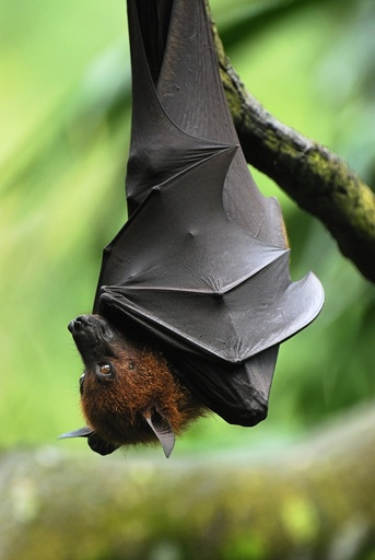 Large Flying Fox or Malayan Flying Fox