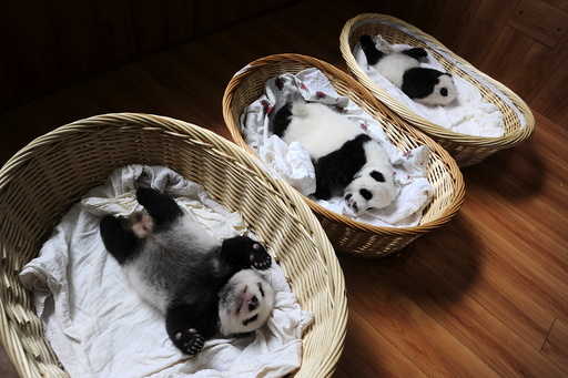 Giant panda cubs are seen inside baskets during their debut appearance to visitors at a giant panda breeding centre in Ya'an