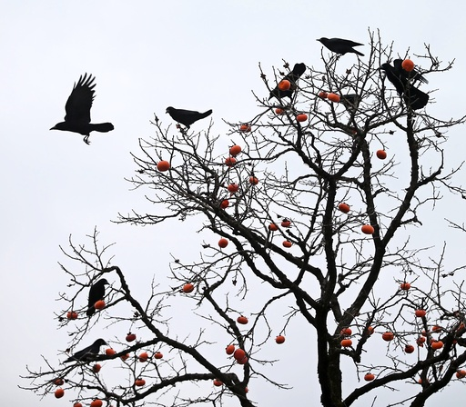 Persimmons to crows