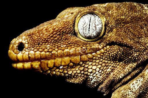 Henkel's giant Gecko (Rhacodactylus henkeli) Ilot Brosse, New Caledonia. Endemic.