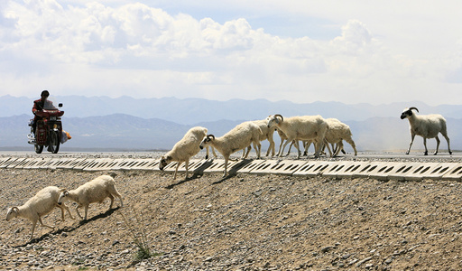A motorcyclist stops as a herd of sheep cross a road in Gonghe County, west China's Qinghai province