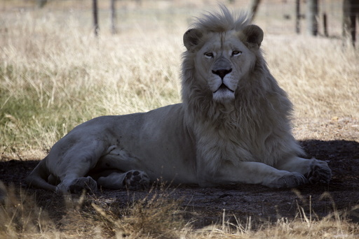 A white lion named Brutus is seen at the Drakenstein Lion Park near Cape Town