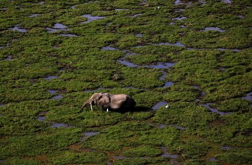 An elephant walks through a swamp in Amboseli National park