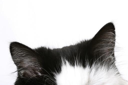 Katteører. Katt, ører, hode.