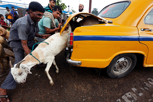 A goat tries to escape from the boot of a taxi after being purchased at a livestock market ahead of the Eid al-Adha festival in Kolkata