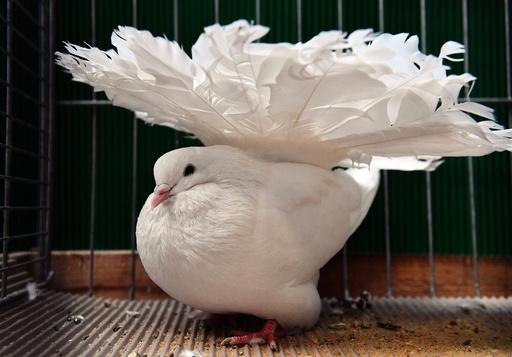 German Dove Exhibition in Erfurt