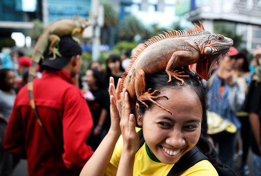 A woman holds an iguana perched on her head at a gathering of a reptile club during a car-free day in central Jakarta