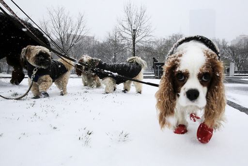 Dogs walk through the snow during a spring snow storm in Boston