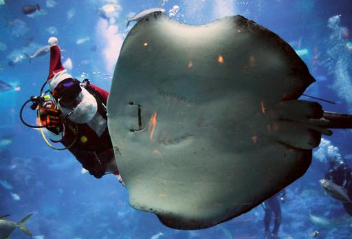 Aquarist Zhao Jian Wen, 38, feeds a stingray dressed as Santa Claus during S.E.A Aquariums Christmas festivities in Singapore
