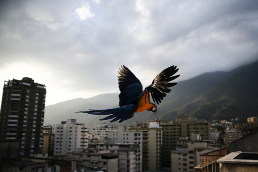 A macaw flies over buildings with the Avila mountain behind in Caracas