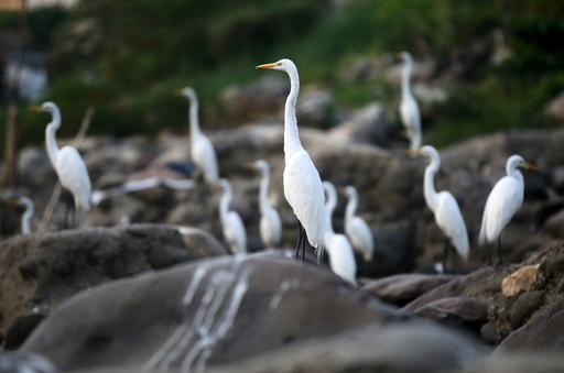 Herons stand on rocks that were once covered by the waters of the Magdalena river, the longest and most important river in Colombia, in the city of Honda