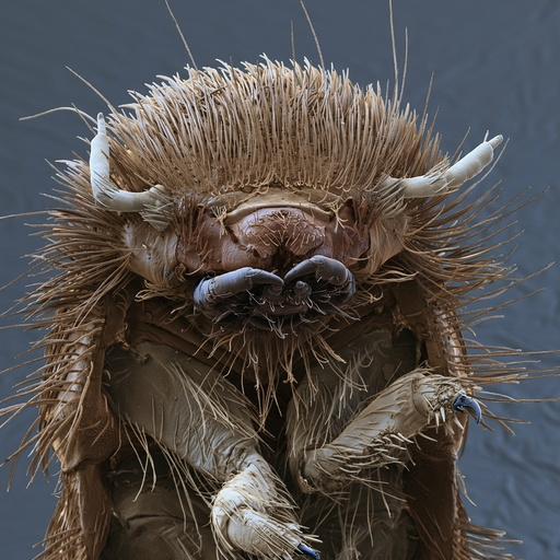 Brown carpet beetle larva, SEM