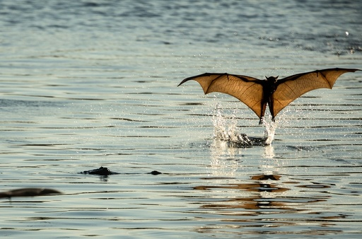 Little Red Flying Foxes in Northern Territory
