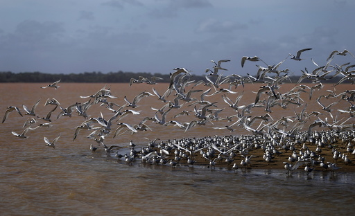 Seagulls fly near the mouth of Rio Doce, which was flooded with mud after a dam owned by Vale SA and BHP Billiton Ltd burst, as the river joins the sea on the coast of Espirito Santo, in Regencia Village, Brazil