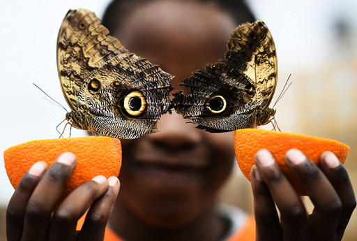 Bjorn, aged 5, smiles as he poses with a Owl butterfly during an event to launch the Sensational Butterflies exhibition at the Natural History Museum in London