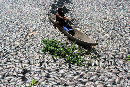 A man steers a wooden boat through dead fish in a breeding pond at the Maninjau Lake in Agam regency
