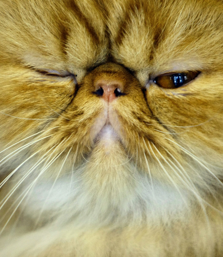A Persian cat is presented to the judges during an international feline beauty contest in Bucharest