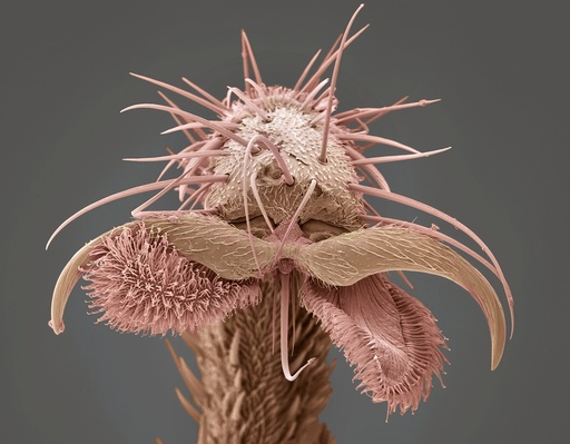 Yellow dung fly's foot, SEM