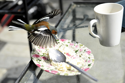 A Chaffinch bird eats the remains of a cake during Britain's Prince Charles and his wife, Camilla Duchess of Cornwall's visit to Glenveagh National Park during a tour to Donegal