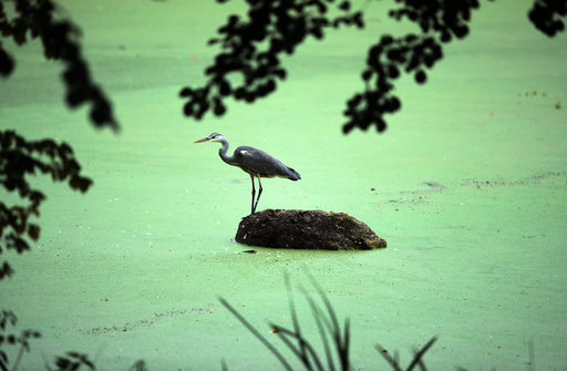 Heron waits for food