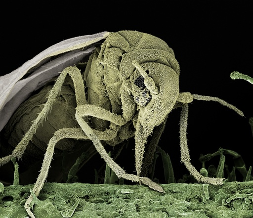 Greenhouse whitefly, SEM