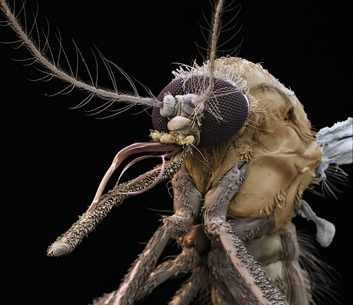 Common house mosquito, SEM