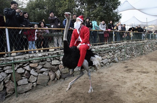 A staff member dressed as Santa Claus rides an ostrich during a performance to attract visitors at a zoo in Wuhan