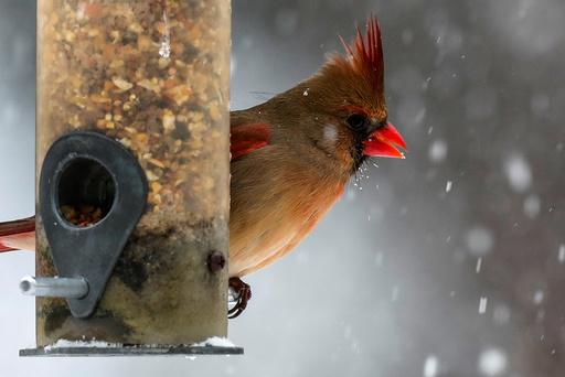 A female Northern Cardinal sits on a bird feeder in falling snow in the Village of Valley Cottage, New York, a suburb north of New York City