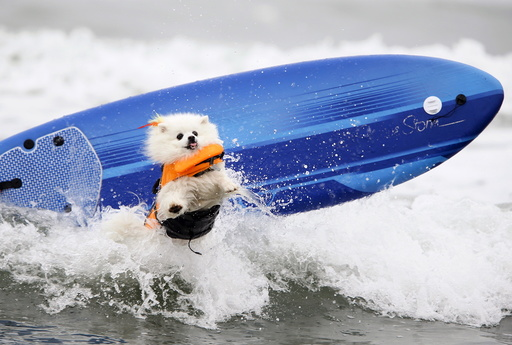 American Eskimo named Ziggy crashes on a wave during the small dog competition competes in the 10th annual Petco Unleashed surf dog contest at Imperial Beach, California