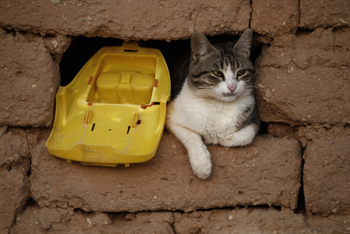 A cat is seen at a window of the mud house in a Sahrawi refugee camp of Al Smara in Tindouf