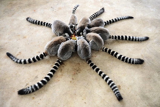 Lemurs eat at Qingdao Forest Wildlife World in Qingdao, Shandong province