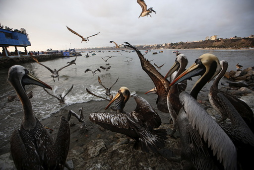 Pelicans wait for food at a market at Pescadores beach in the Chorrillos district of Lima