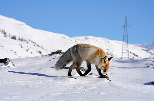 A fox walks in the snow in Hemu of Altay, Xinjiang Uygur Autonomous Region