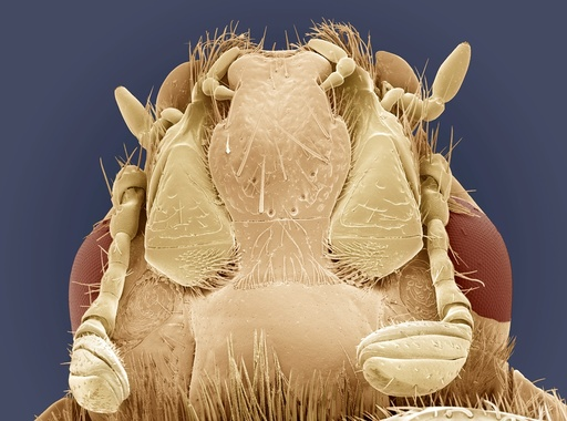 Rose chafer beetle, SEM
