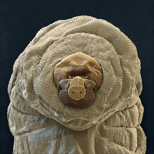 Aphidius colemani wasp larva, SEM
