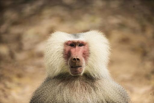 A male baboon is seen at the Safari Zoo in Ramat Gan, near Tel Aviv
