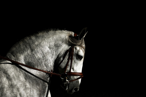 A purebred Spanish horse is pictured during the Sicab International Pre Horse Fair in the Andalusian capital of Seville, southern Spain