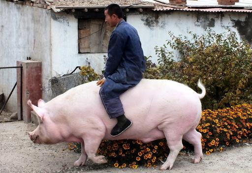 Farmer Zhang Xianping rides his pig