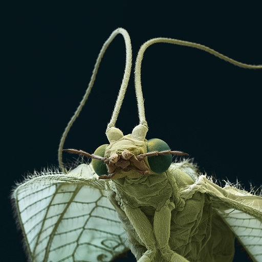 Common green lacewing, SEM