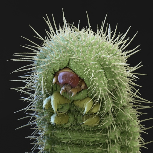 Common blue butterfly larva, SEM