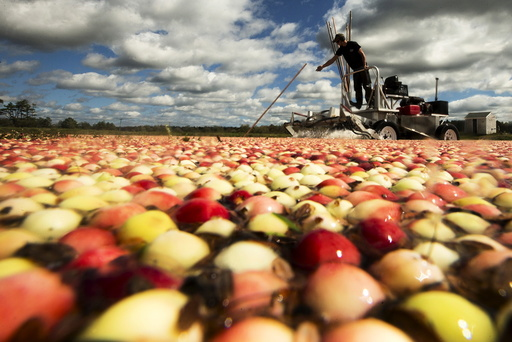 Nick Johnson harvests cranberries in a bog at Gilmore Cranberry Company in Carver