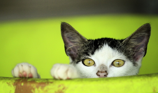 A rescued cat is pictured at the Animal Rescue Asis in San Rafael de Heredia