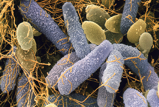 Acetobacter and Schizosaccharomyces