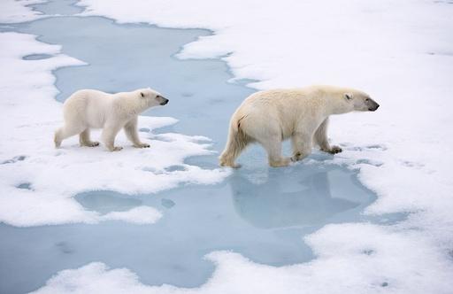 Isbjørner (Ursus maritimus) i drivisen. Isbjørn. Drivis. Hvitbjørn. Verdens største landrovdyr. Kjøtteter. Rovdyr. Bjørn. Spitsbergen. Arktis. Svalbard