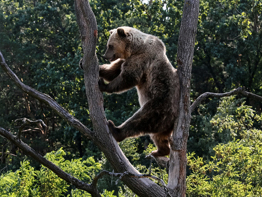 Brown bear is seen in a shelter for bears in the village of Berezivka